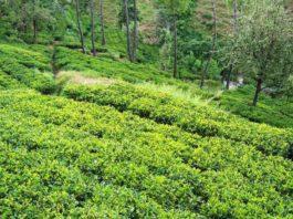 उत्तराखंड में चाय की खेती के लिए अपार संभावाएं लिए सरकार ने चाय बागान विकसित करने पर मंथन शुरू कर दिया है।