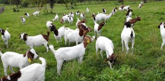 Tips to start goat farming in Uttarakhand