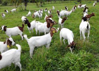 Tips to start goat farming in Uttarakhand